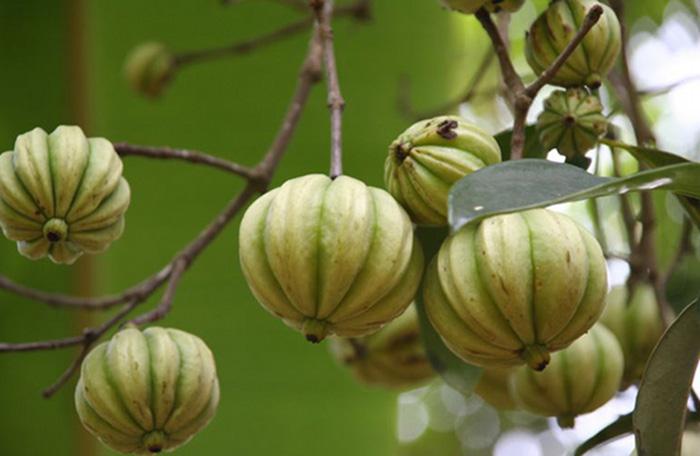 garcinia-cambogia-arbol